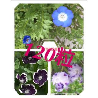 ネモフィラ種 3種類 計130粒 ブルー 、マクラータ、ペニーブラック(プランター)