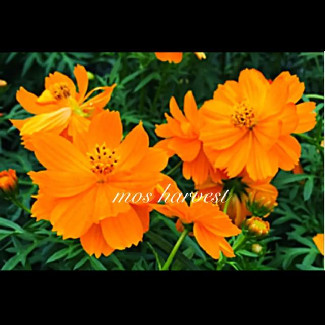 ◆キバナコスモス/黄花秋桜◆ 【オーガニック種子 100粒】 ハンドメイドのフラワー/ガーデン(その他)の商品写真