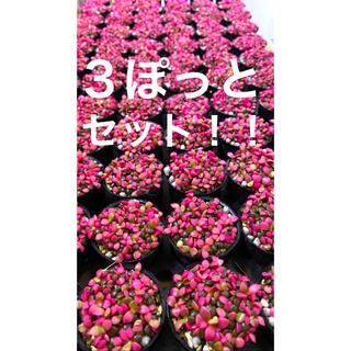桜吹雪3個セット!!多肉植物(その他)
