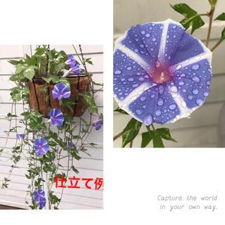●  即買いOK     種10粒 「ハンキング朝顔」恋しぐれバイオレットブルー(プランター)