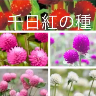 千日紅の種 5種類 人気色あり❣️今年採れたて 即購入歓迎❣️(その他)