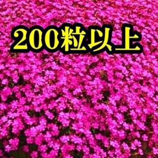 シレネ・ピンクパンサーの種 200粒以上  今が蒔き時! 10月末まで!(その他)