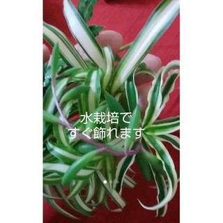 観葉植物多肉植物 オリズルラン 斑入り 2種 + ルビーネックレス 育てやすい(その他)