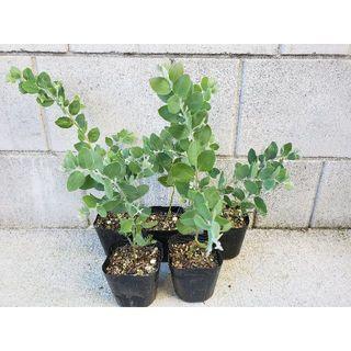 ecrin様専用ページ パールアカシア ポット苗 観葉植物 シンボルツリーに♪(プランター)