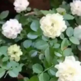 Gグリーンアイス ミニバラ 挿し穂苗 発根♡ホワイトガーデン♡(その他)