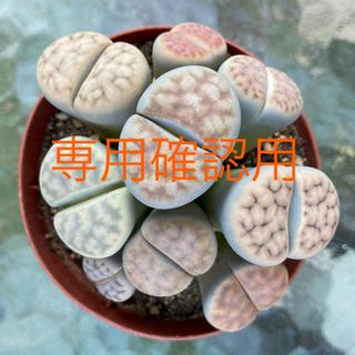 専用  リトープス メセン 多肉植物(その他)