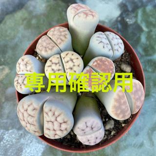 リトープス メセン 多肉植物(その他)
