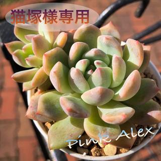 ピンクアレックス 多肉植物(その他)