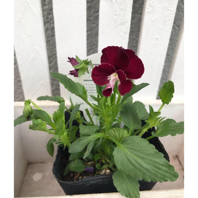 wootan様用 新開発種 ぞうさん ビオラ ワインレッド 苗1つ  ポットで ハンドメイドのフラワー/ガーデン(プランター)の商品写真