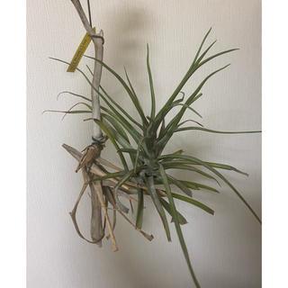 【格安】ノバキー エアープランツ 流木付き 観葉植物(その他)