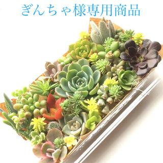 ぎんちゃ様 専用商品 多肉植物 七福神セット(その他)