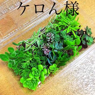 多肉植物 カット苗+プレビフォリウム5カット(その他)