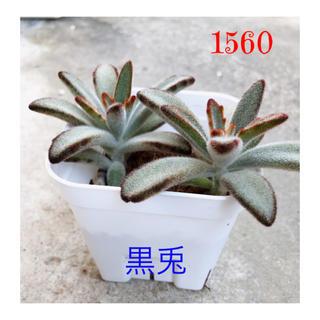 🍀【1560】ふわふわ、もふもふ、もけもけ可愛い多肉植物『黒兎』(その他)