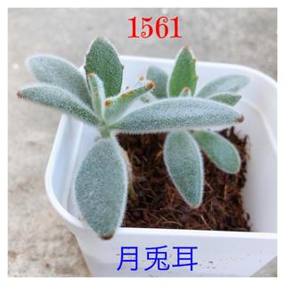🍀【1561】ふわふわ、もふもふ、もけもけ可愛い多肉植物『月兎耳』(その他)