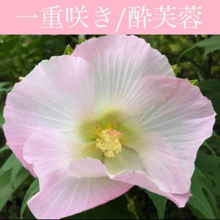 ◆繊細で美しい大輪一重咲き◆ 酔芙蓉/スイフヨウ 【オーガニック種子 30粒】(その他)