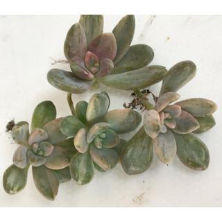 多肉植物pachyphytoides錦 石蓮華錦 4点セット特価‼️