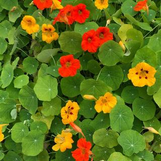 室内で可愛いお花を❣️ナスタチウム 金蓮花の種24粒プランター植えガイド付き(プランター)