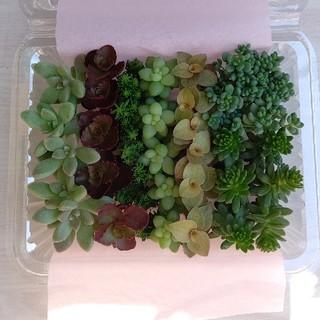 多肉植物    セダム    カラフル    カット苗