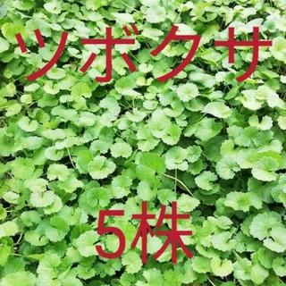 ツボクサの苗 ゴッコラ 5株(その他)