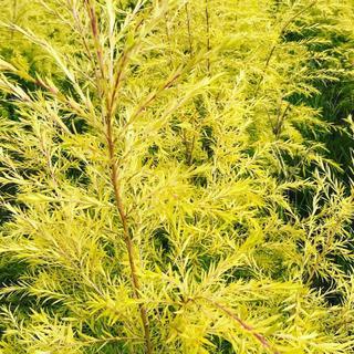 メラレウカ☆OG-plants☆掘り取り苗☆農園直送(その他)
