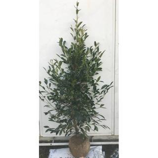 《現品》本榊(ホンサカキ)樹高1.4m 40(根鉢含まず)《苗木/植木/さかき》(その他)