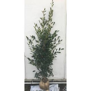 《現品》本榊(ホンサカキ)樹高1.6m 41(根鉢含まず)《苗木/植木/さかき》(その他)