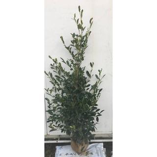 《現品》本榊(ホンサカキ)樹高1.5m 42(根鉢含まず)《苗木/植木/さかき》(その他)