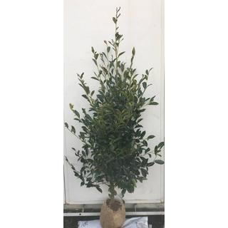 《現品》本榊(ホンサカキ)樹高1.6m 43(根鉢含まず)《苗木/植木/さかき》(その他)