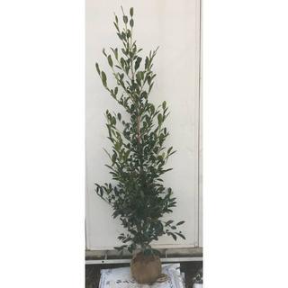 《現品》本榊(ホンサカキ)樹高1.7m 44(根鉢含まず)《苗木/植木/さかき》(その他)