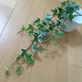 ヘデラ アイビー カット苗※ ロング④