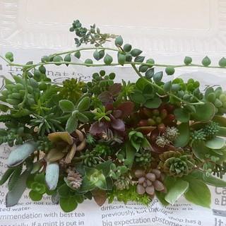 多肉植物 カット苗40種セット(その他)
