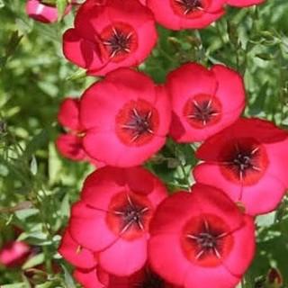 花種ベニバナアマ リナム