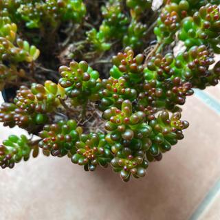 多肉植物 レッドベリー カット苗 4つ