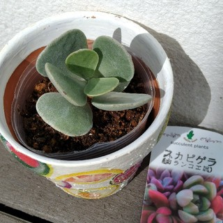 多肉植物 スカピゲラ カランコエ(その他)