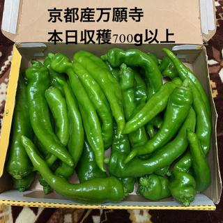 本日収穫❗️肉厚 京都産 万願寺甘ししとう コンパクト箱満杯 正味700g以上(野菜)