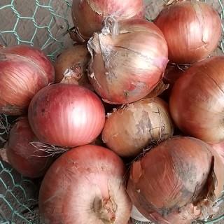 北海道産 赤玉ねぎ 5kg(野菜)