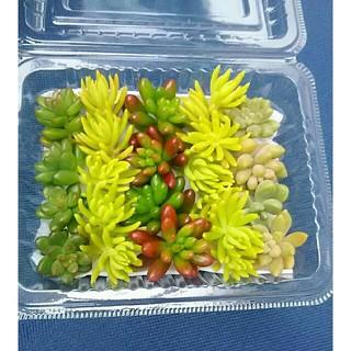 *カット苗 4種セット*多肉植物