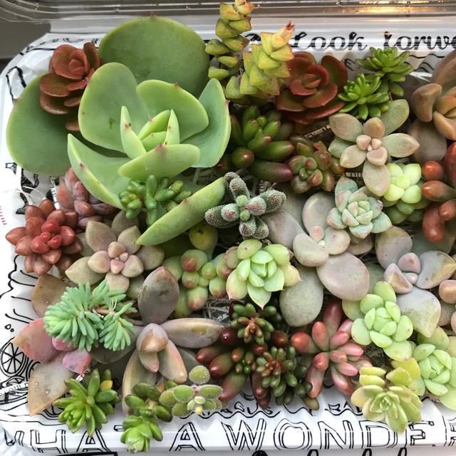 多肉植物カット苗詰め合わせセット2 ハンドメイドのフラワー/ガーデン(その他)の商品写真