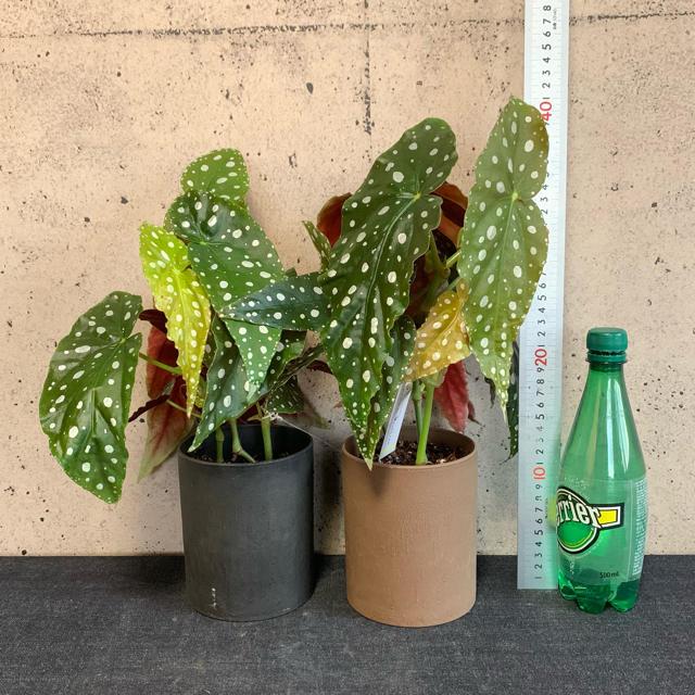 再入荷しました! ベゴニア・マクラータ 1鉢 ※送料込み ハンドメイドのフラワー/ガーデン(その他)の商品写真