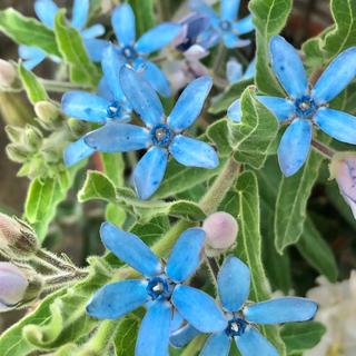 ブルースターオキシペタラムの種  ☺︎  30粒(その他)