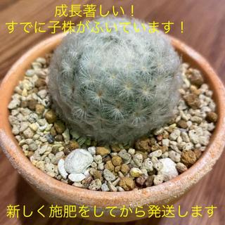 人気の白星☆ 子宝サボテン 多肉 子宝 マミラリア 観葉植物 インテリア(その他)
