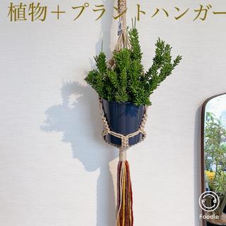 プラントハンガー付き【送料込】*リプサリス・メセンブリアンテモイデス* 多肉植物(その他)