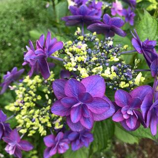 青紫のガクアジサイ 挿し木3本(その他)