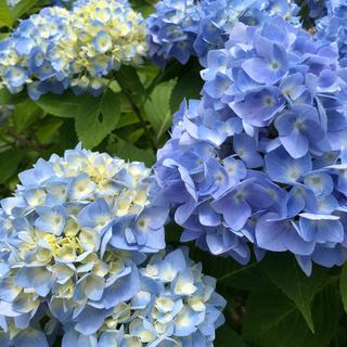 よく増える! 二季咲き青アジサイ 挿し木3本(その他)