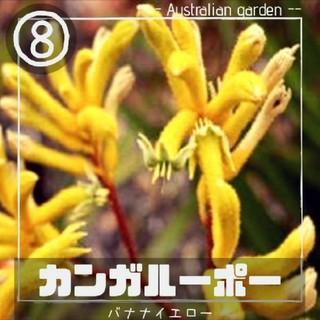 【カンガルーポー⑧】バナナイエロー 種子10粒 アニゴザントス(その他)