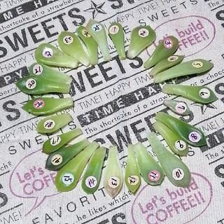 韓国苗❣️葉挿し25種類セット❣️【27】(その他)