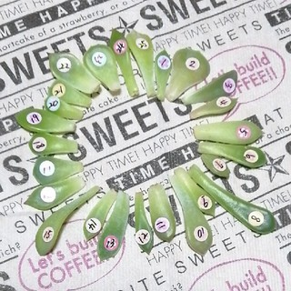 韓国苗❣️葉挿し25種類セット【28】(その他)