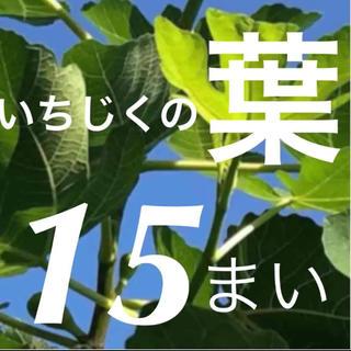 イチジク 葉 15枚(フルーツ)
