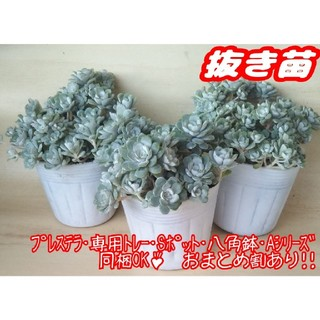 【抜き苗】ケープブランコ (白雪ミセバヤ) 多肉植物 セダム プレステラ(その他)
