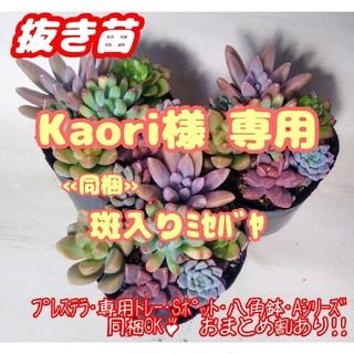 【Kaori様専用】【抜き苗】多肉植物 カラフル寄せ植え♪ 他セダム プレステラ(その他)